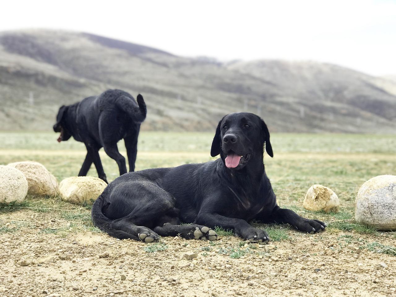 the black dog, labrador, prairie
